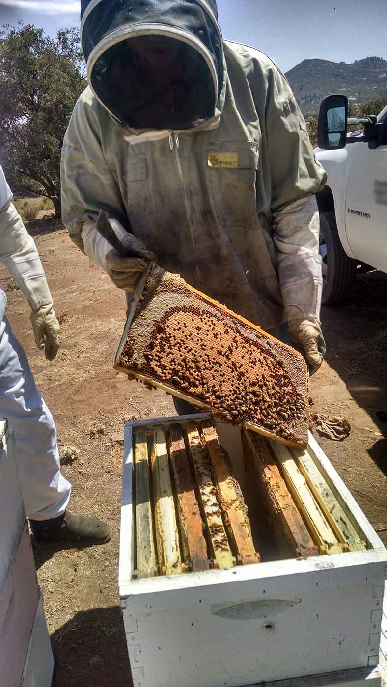 Beekeeper inspecting a honey frame.