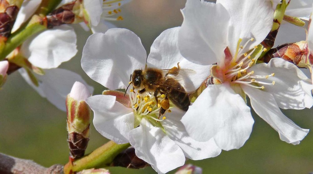 Almonds are a specialty crop of California that are solely dependent on pollination by honeybees.