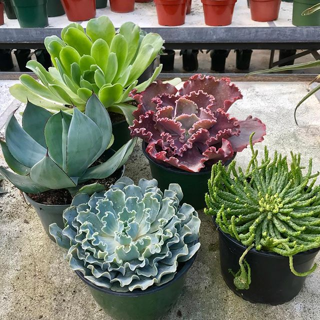 Large succulents! #succulents #succulentsofinstagram #succulentaddict #succulentaddiction #greenhouse #urbangardenersrepublic #succulentwonderland #succulentporn #containergarden #containergardening #koolplant #plantaddiction #suckerforsucculents #plantsomething #picofday #homedecor #hobby #plantspiration #beautiful #rainbowsuccies #randcfloral