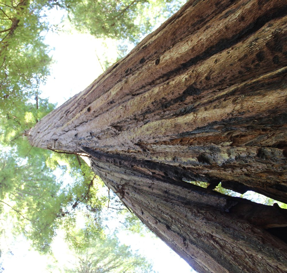armstrong-state-park-redwood-tree