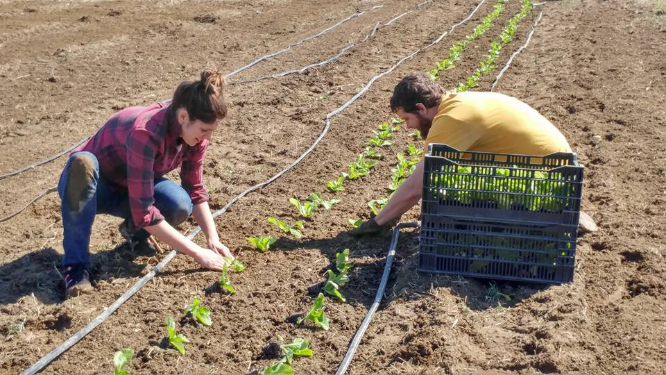 Dave and Allie planting cabbage at Owl's Nest