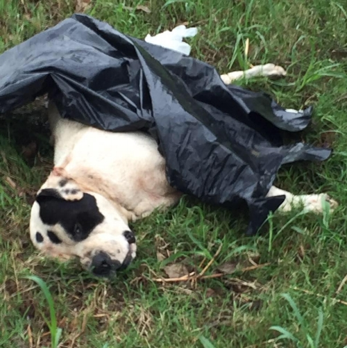 One of hundreds of dead dogs Boss has found dumped along Dowdy Ferry Road in South Dallas.