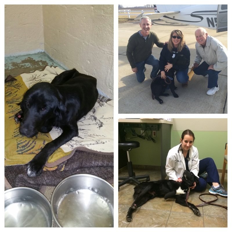 "Drake right after being thrown from the car and after surgery. He was flown to Indiana by ""Pilots for Paws."""