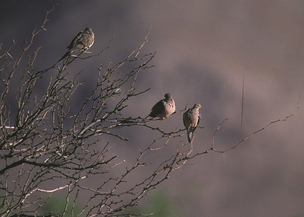 mourning-doves-591586_1920.jpg