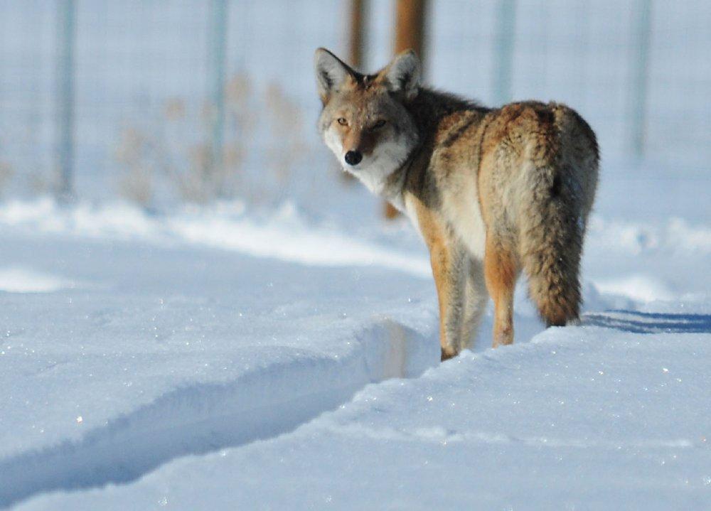 coyote-937008.jpg