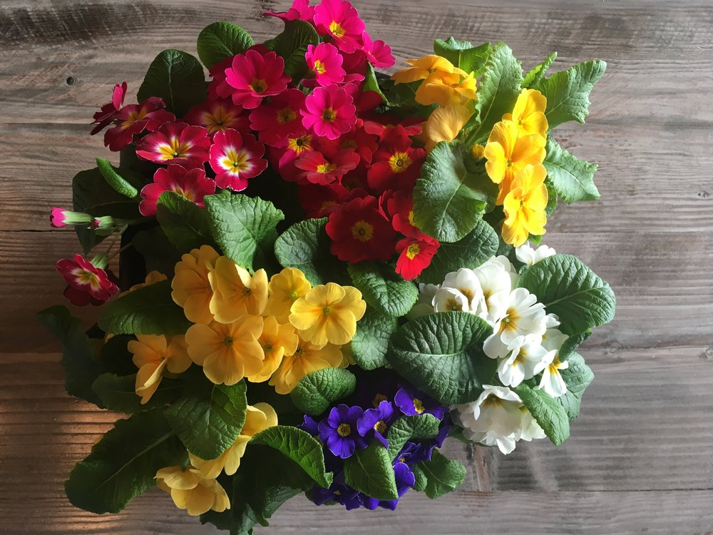 Primroses on wood table