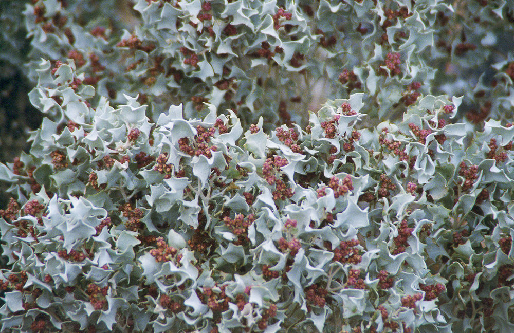 Desert holly_Wikimedia Commons.jpg