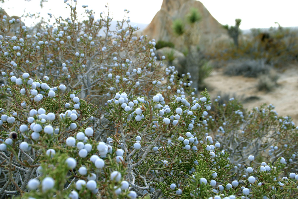 California juniper_Wikimedia Commons.jpg