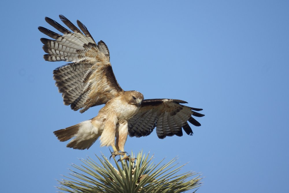Red-tailed hawk_Julianne Koza.jpg