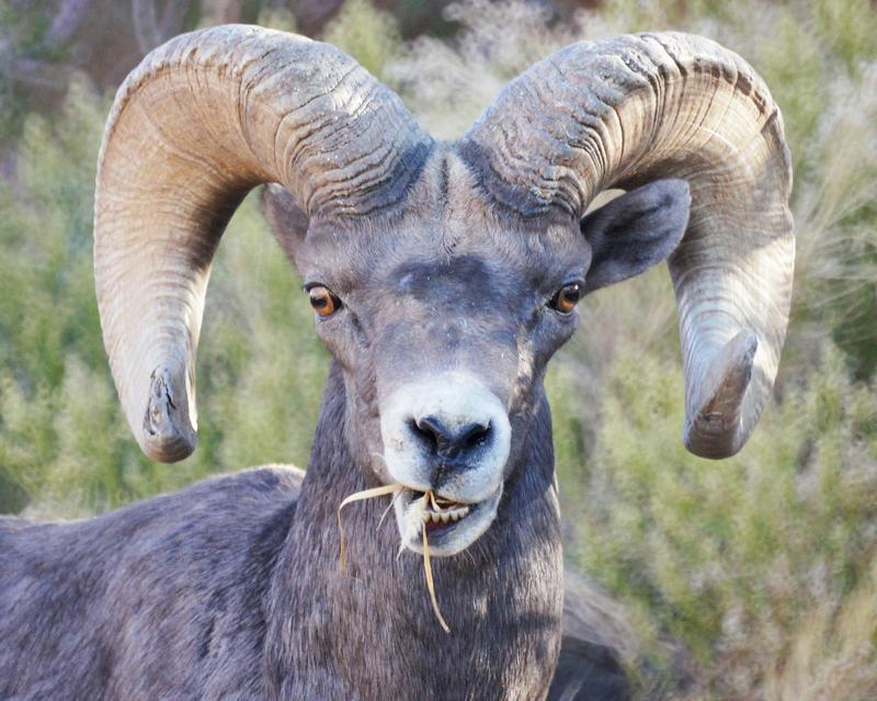 Bighorn Sheep_Julianne Koza.jpg