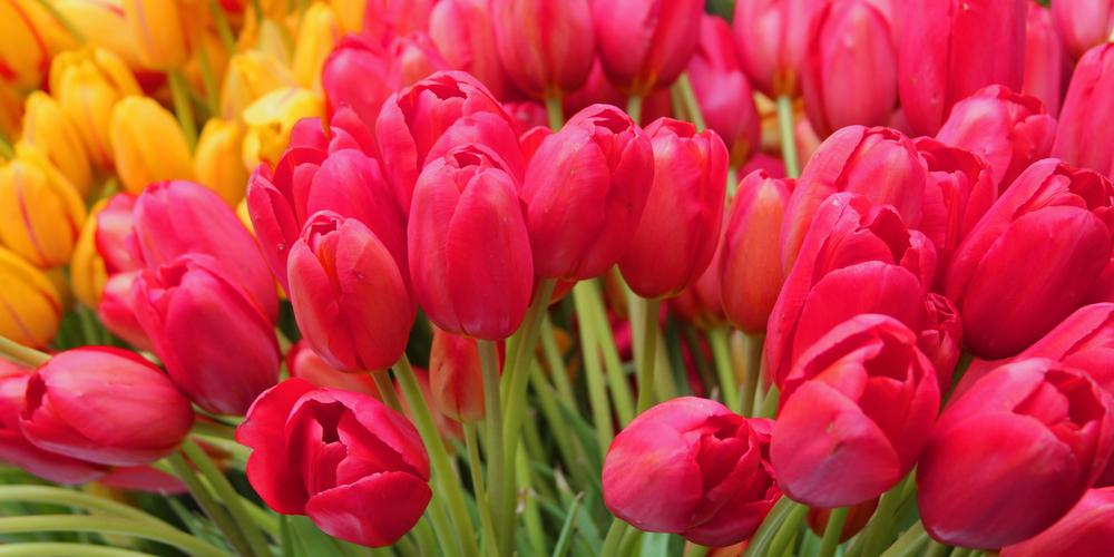 Pike Market Tulips.jpg