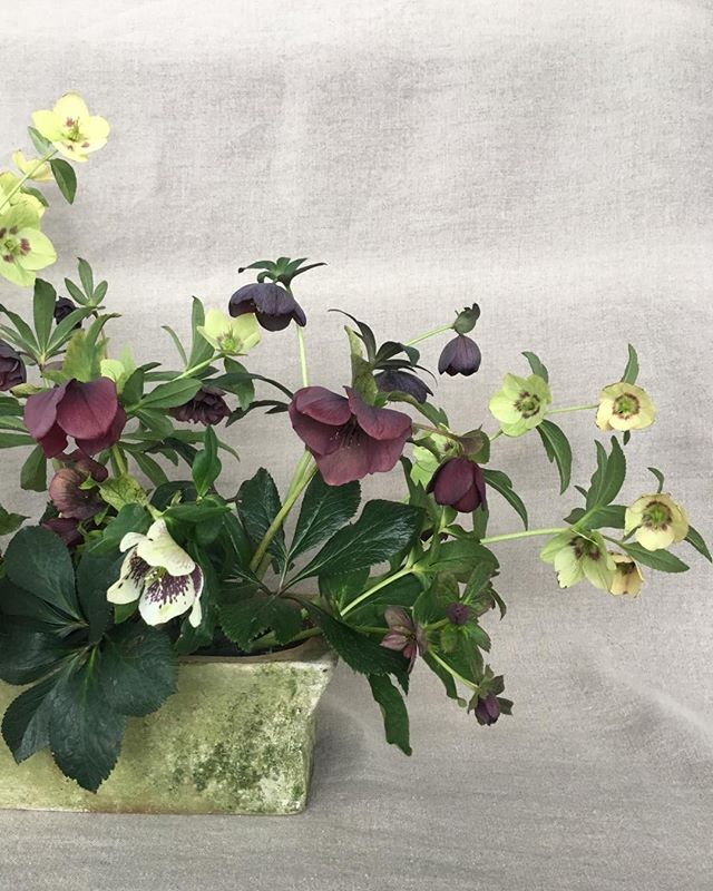 Yesterday eve I was out trimming back old foliage from my garden beds. This morning I woke up to the world covered in a thick blanket of white. Hellebores making me happy on this snowy day!