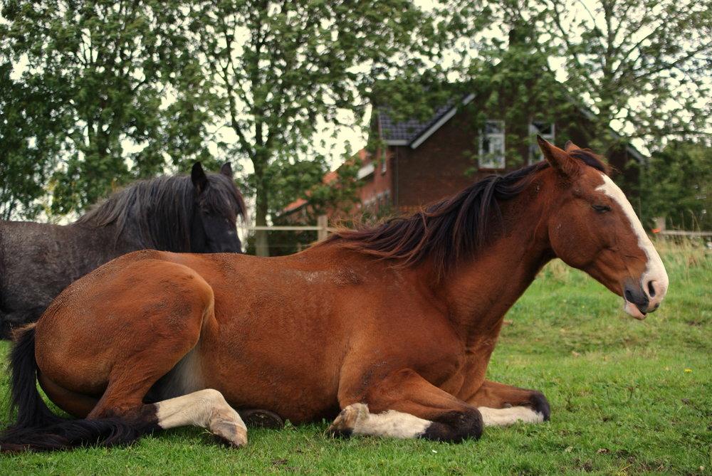 Droom-paard
