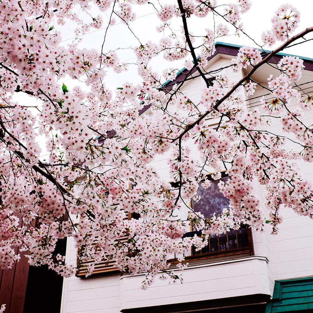 SakuraDaizawa