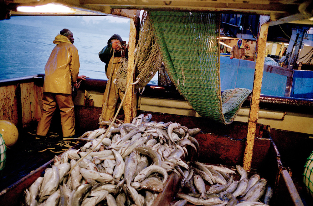 La remontée du merlu. Pointe Finistère, 2012   Les campagnes de merlu mobilisent deux équipages pendant près d'une semaine à chaque sortie. Ils pêchent au large de la pointe Finistère jusqu'à ce qu'ils atteignent le quota autorisé par l'Union européenne.