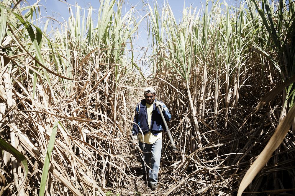 """Le Domaine de """"Mon Caprice"""", ligne des bambous, commune de Saint- Pierre. M. Canabady possède des champs de canne à sucre et y emploie de nombreux ouvriers agricoles. Au moment de l'expansion de la canne à sucre, les travailleurs locaux affranchis, petits blancs et mulâtres ne sont pas intéressés par les travaux difficiles des champs et des usines sucrières, ce sont donc les descendants des engagés indiens qui se sont investis dans cette production. Les premiers engagés arrivent à la Réunion à partir de 1829. L'immigration s'intensifie à partir de l'abolition de l'esclavage de 1848, pour redoubler après l'accord franco-britannique de 1860. Après la perte de Saint-Domingue, la Colonie Bourbonnaise (La Réunion) est le plus grand fournisseur de sucre de la France. En 1859, intervient l'interdiction de recruter sur les côtes orientales de l'Afrique, des Comores et de Madagascar. Les autorités anglaises offrent alors « une mise en valeur des terres à sucre par le recrutement d'une abondante main-d'oeuvre anglo-indienne » réputée docile, habile et bon marché. Malgré leur statut d'anglo-indiens, ces engagés ne sont pas considérés comme des employés à part entière. Parqués dans des camps en bordure des exploitations, ils côtoient les affranchis et les descendants d'esclaves, dont ils partagent les pénibles conditions de travail : des journées de plus de 16 heures, sanctions, punitions, paiements tardifs et souvent illusoires de leurs gages. Bien qu'ils soient informés des nouvelles conditions de recrutement, les mentalités des colons ont du mal à évoluer. Peu à peu  nformée de ces maltraitances, l'opinion publique anglaise pousse les autorités à fermer les comptoirs de Madras et de Yanaon, puis exige que l'immigration indienne soit commandée par un officier anglais, ce que les Français refusent."""