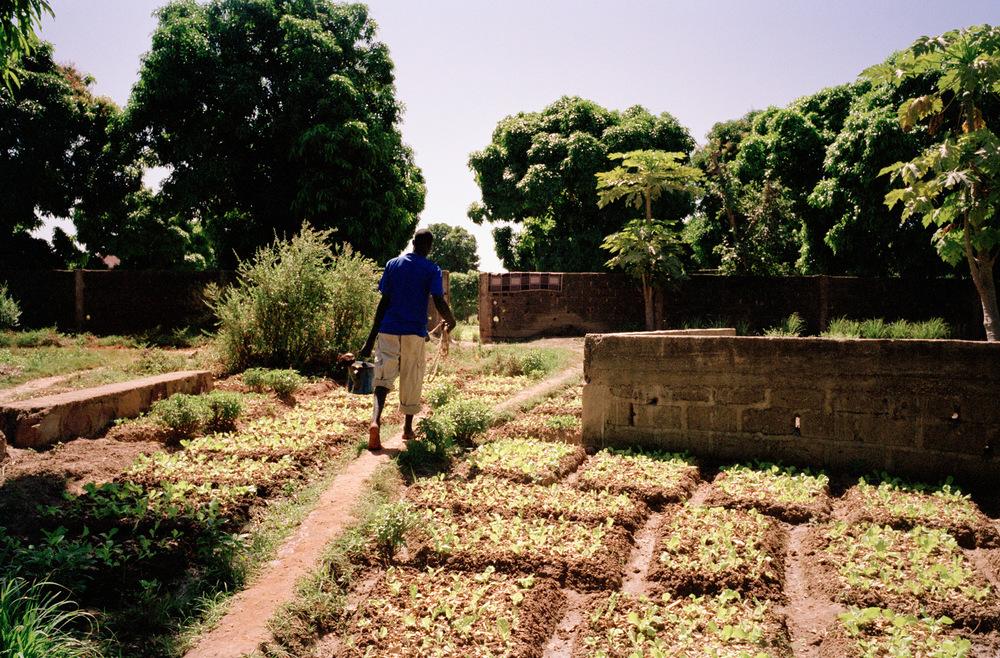 Quartier de Magnambougou, Bamako, Mali.  Les parcelles proches du fleuve sont arrosées avec l'eau de celui-ci, pour celles plus éloignées l'eau est puisée dans les puits.
