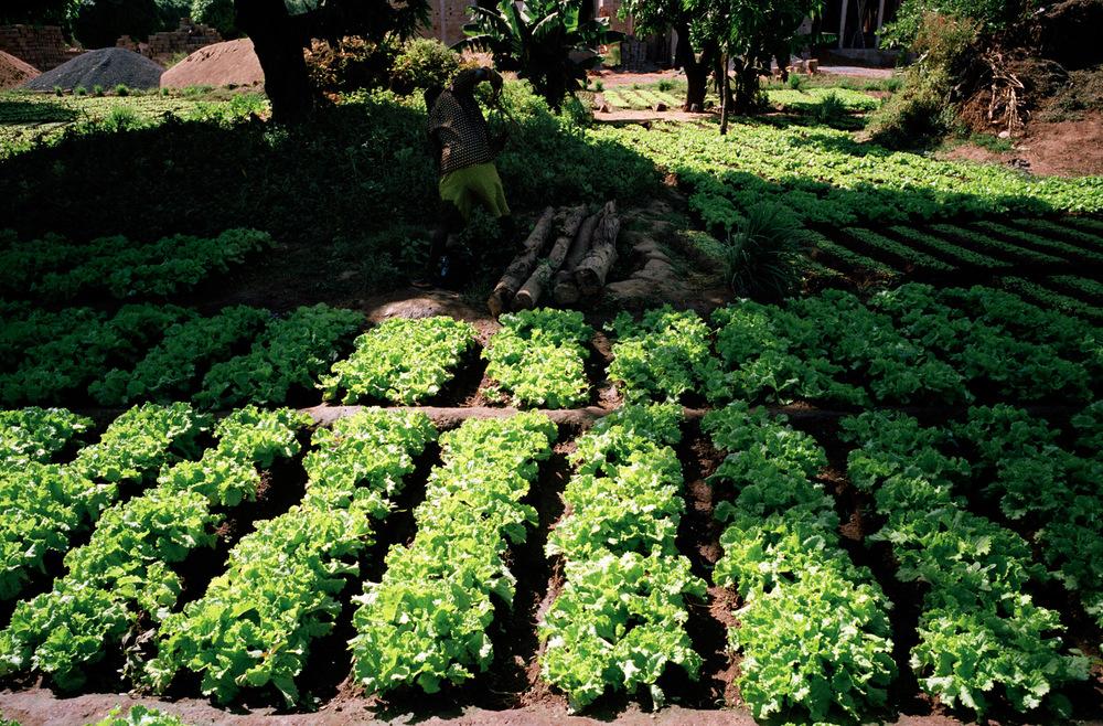 Quartier de Magnambougou, Bamako, Mali.  Les salades sont vendues à des clients réguliers, afin d'en faire commerce sur les marchés de la capitale. Les prix sont variables, et changent du simple au double en fonction de la demande. Un plateau de salades coûte environ 600 à 650 CFA et un plateau de betteraves entre 1250 et 1500 CFA.