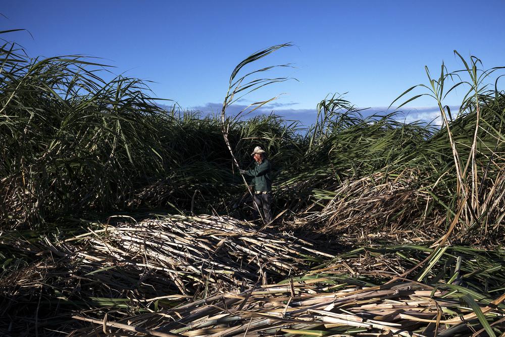 Le plus jeune des frères Boulanger est entrain de couper la canne au petit matin. Juillet 2014. Commune du Tampon, île de la Réunion.