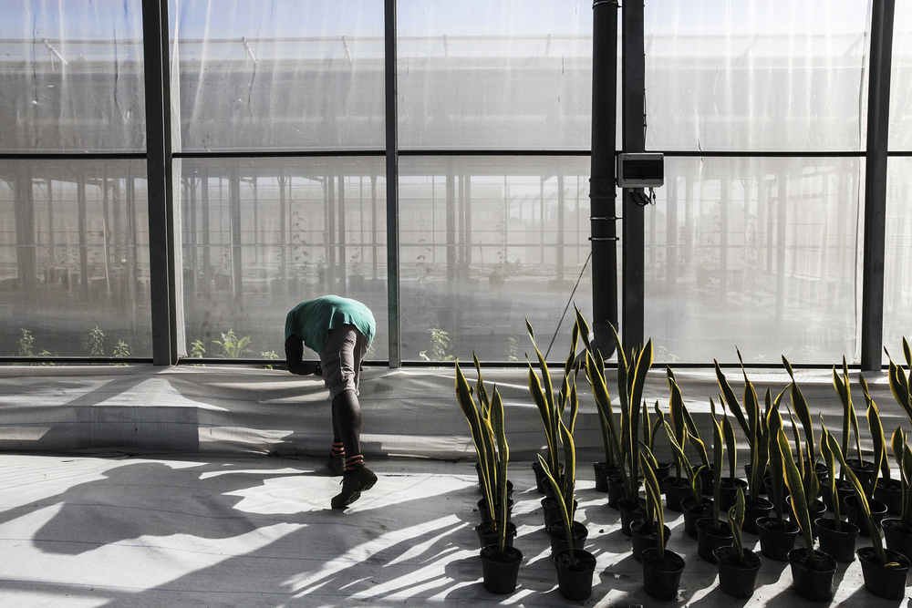Tous les matins des détenus sélectionnés pour leur bonne conduite vont travailler dans les serres construites à côté du centre de détention du Port. Un programme de production agricole et de réinsertions est actuellement mis en place. Juin 2015, Le Port, Ile de la Réunion.