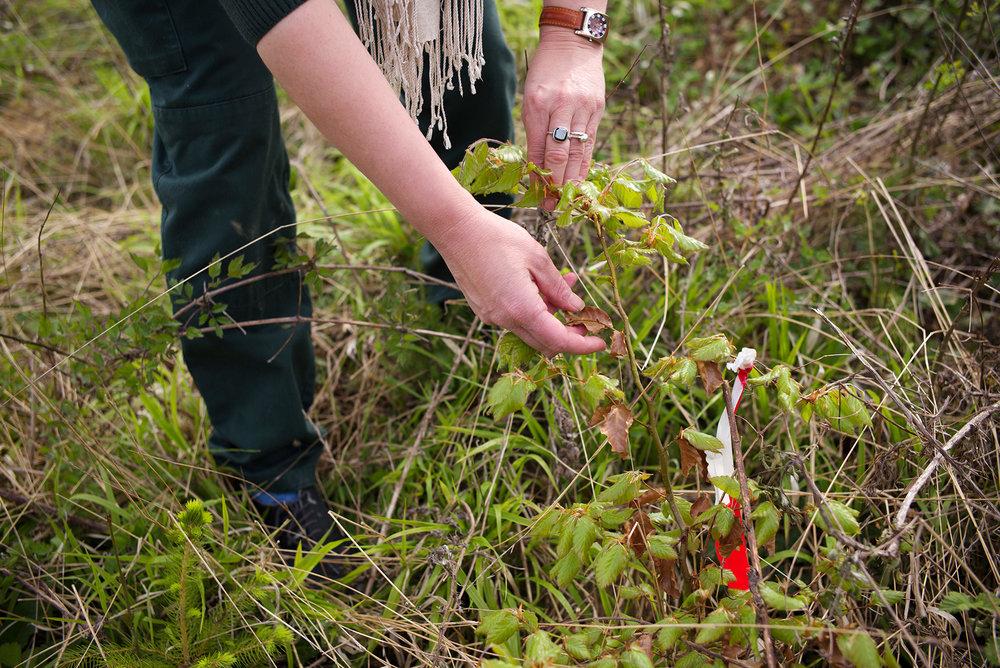 Brigitte Musch, responsable du conservatoire génétique des arbres forestiers de l'ONF, sur une parcelle de la forêt Domaniale de Verdun. Meuse, Alsace-Champagne-Ardenne-Lorraine, 09.05.2016