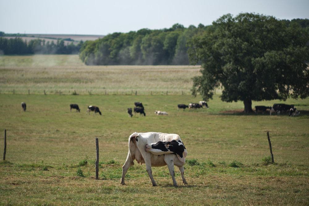 Exploitation d'Adrien Lefevre, producteur de lait du label équitable Fairefrance. Sorcy Bauthémont, Ardennes, région Alsace-Champagne-Ardenne-Lorraine, 26.08.2016