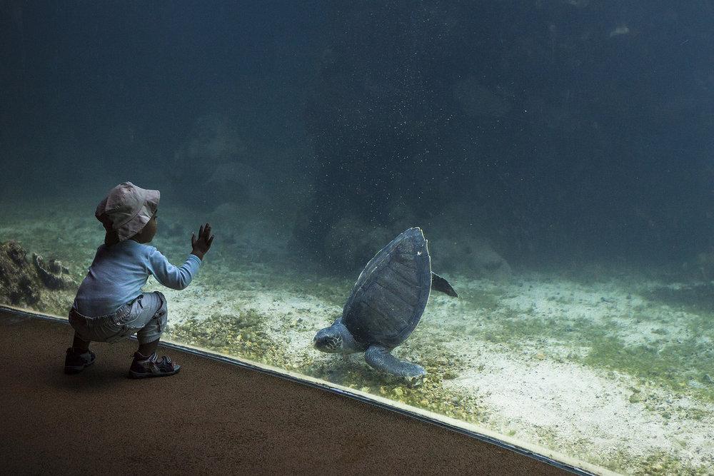28 juin 2014, les visiteur peuvent observer les torutues à travers une vitre à Kélonia qui est l'observatoire des tortues marines de la Région Réunion. Saint-Leu, Ile de la Réunion