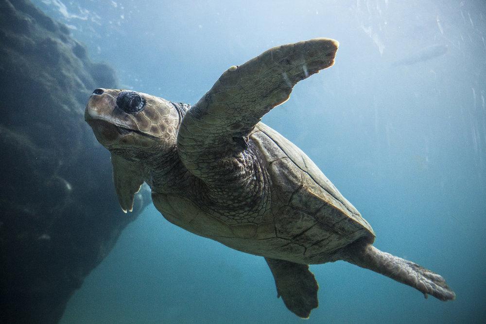 28 juin 2014, tortue à Kélonia qui est l'observatoire des tortues marines de la Région Réunion. Saint-Leu, Ile de la Réunion