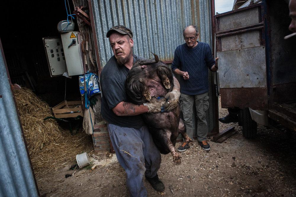 Villebeon, le 2 Avril 2014; Remy, dans le village depuis plus d'un an transporte les cochons offerts par une ferme voisine.Villebeon, April 2, 2014; Remy has been living in the village for more than a year. He carries pigs offered by a nearby farm.