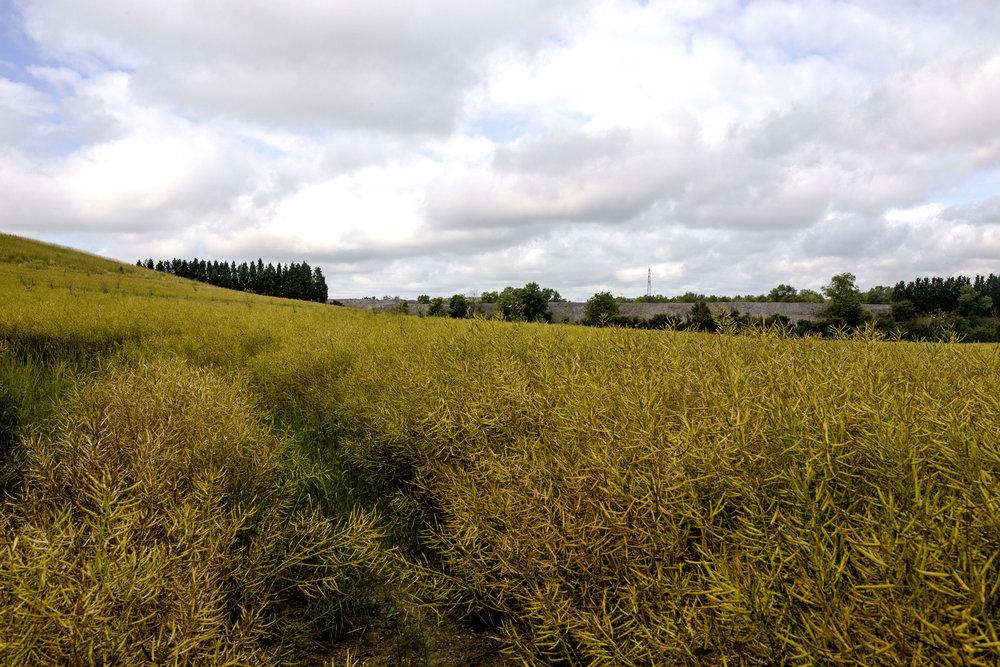 1er juillet 2016, 08H34. Vue sur le site d'Harsco caché par les monticules de déchets sidérurgiques. Des jardins maraîchers sont installés juste à proximité de ce champ.