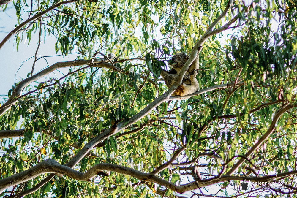 Wild Koala munching on eucalyptus leaves or is he? Dozing off?
