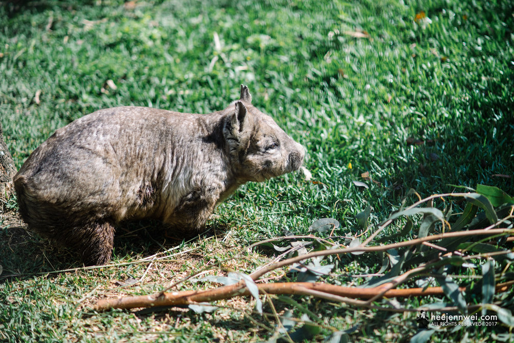 Short legged, muscular marsupials native to Australia! Nancy the fancy wombat!
