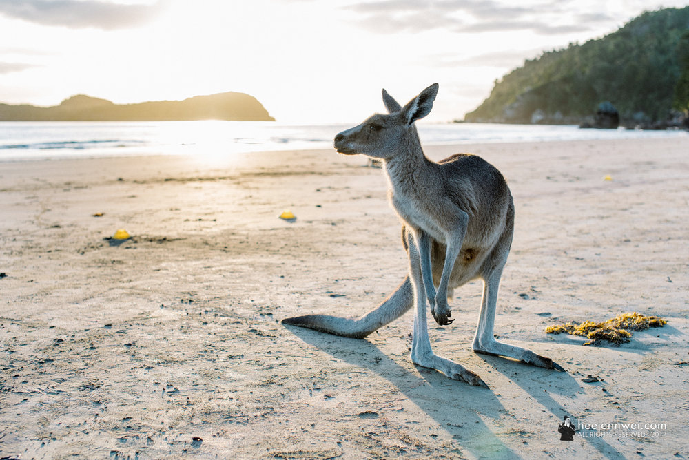 Make sure to arrive at Cape Hillsborough before sunrise, the park ranger starts his briefing about the park and the wildlife, then feed the wild wallabies and kangaroos right after that.