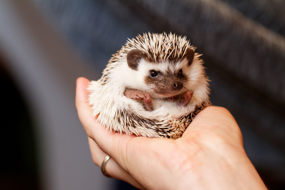 a white-bellied hedgehog