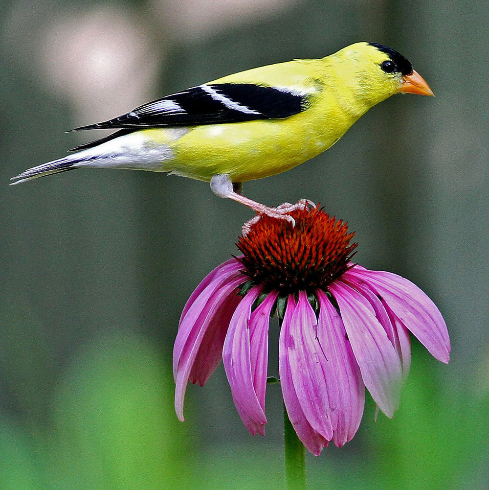 American Goldfinch on Purple Coneflower Photo by Will Stuart