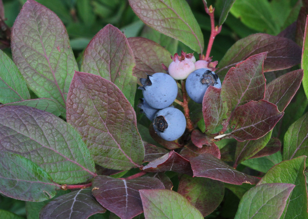 Vaccinium corymbosum blueberries photo by Will Stuart