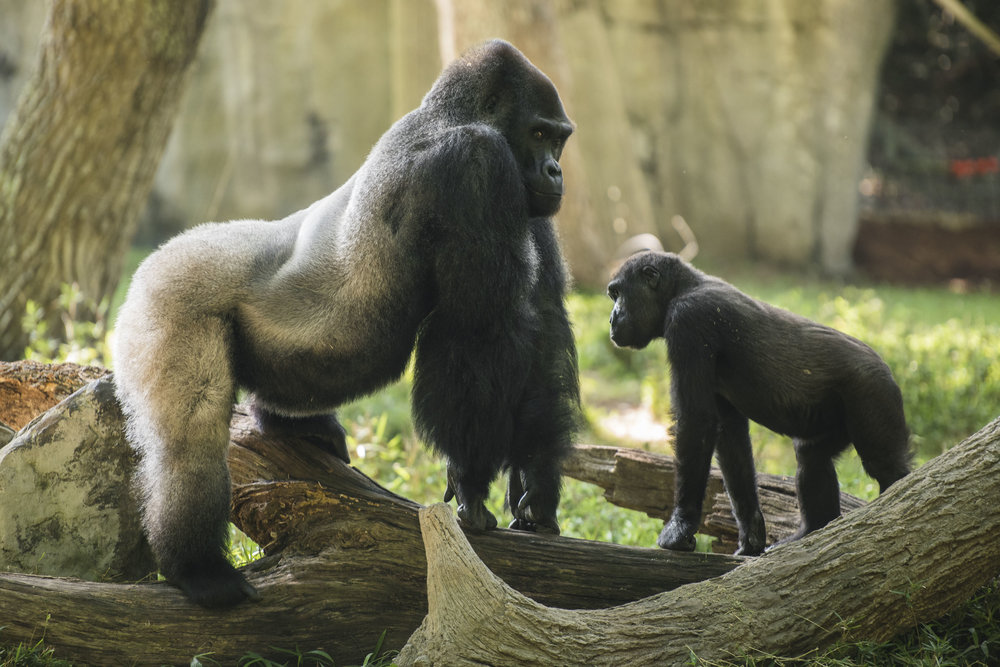 Gorillas copy.jpg
