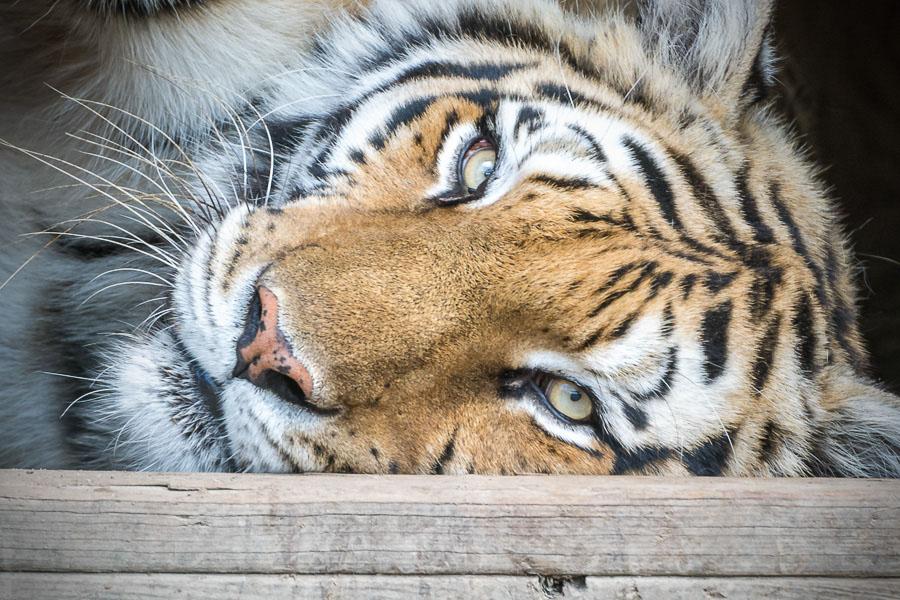 Freya_Tiger_ConservatorsCenter copy.jpg