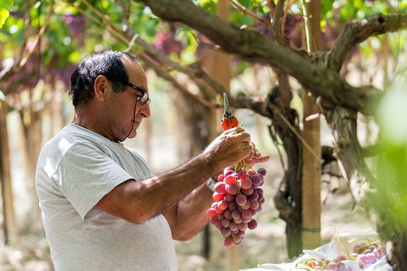 Italian man cuts wine graps from a tree
