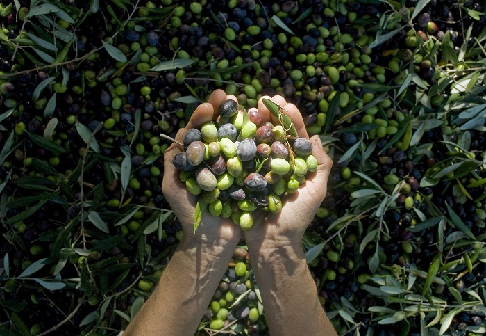 girl hands with olives, picking from plants during harvesting, green, black, beating to obtain extra virgin oil, food, antioxidants, Taggiasca variety, autumn, light, Riv