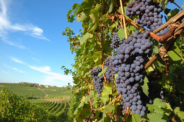 Big red grapes wainting for the harvest; Nebbiolo variety, italian vineyards