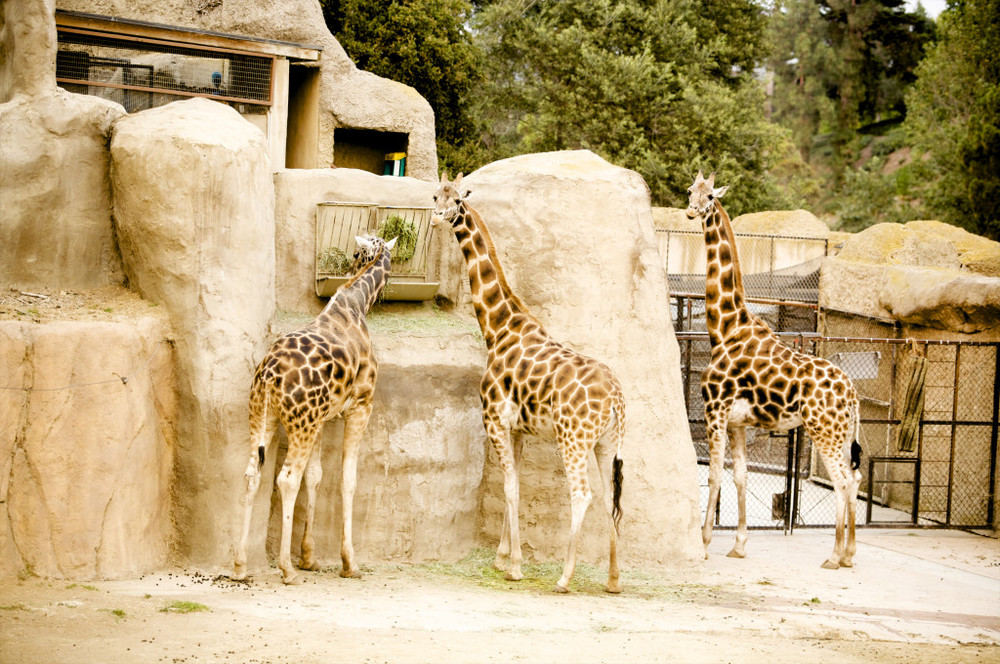 santa barbara zoo wedding with giraffes  felicievents.com