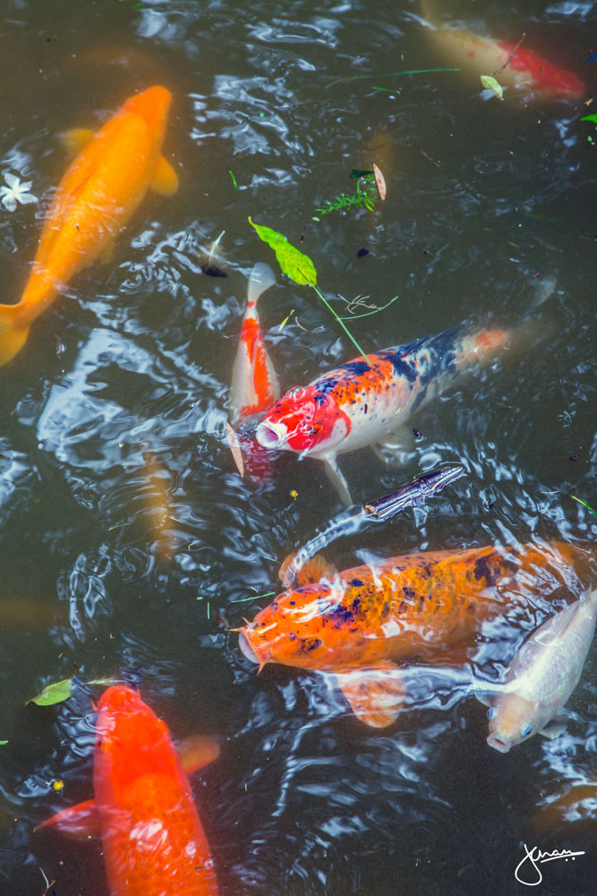 Koi Fish @ Byodo-In Temple, Oahu