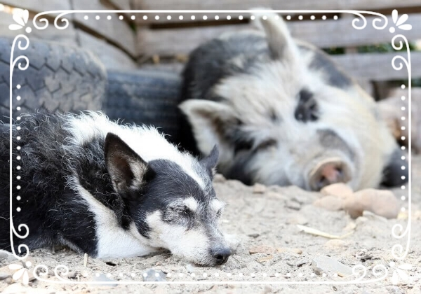 Sleeping-Pig-and-Dog.jpg