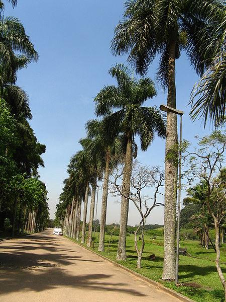 450px-(Roystonea_borinquena)_palmeiras_imperiais,_sao_paulo_botanical_garden_Arboretum_J_Botanico_Sao_Paulo_Brazil.jpg