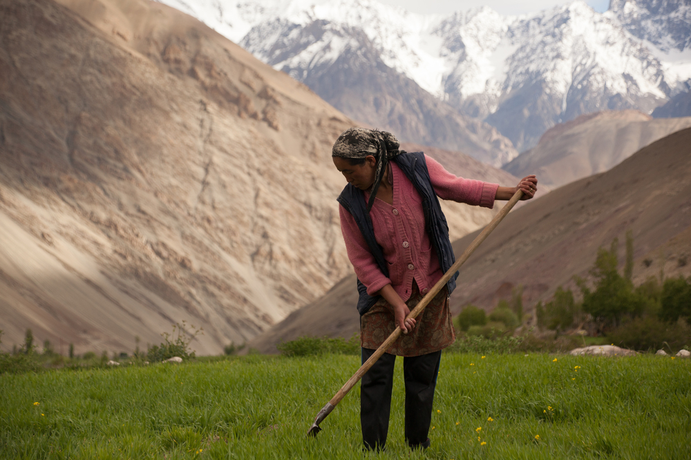 A subsistence farmer in a Ladakhi village.