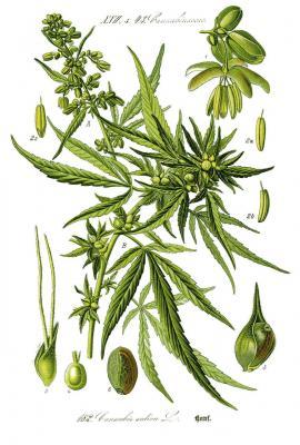 cannabis_sativa0_clean.jpg