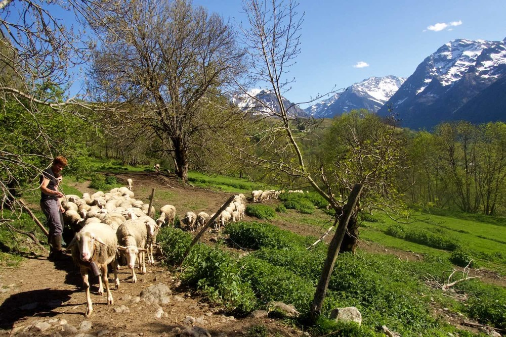 Milking time for the sheep at the fromagerie in the Pyrenees