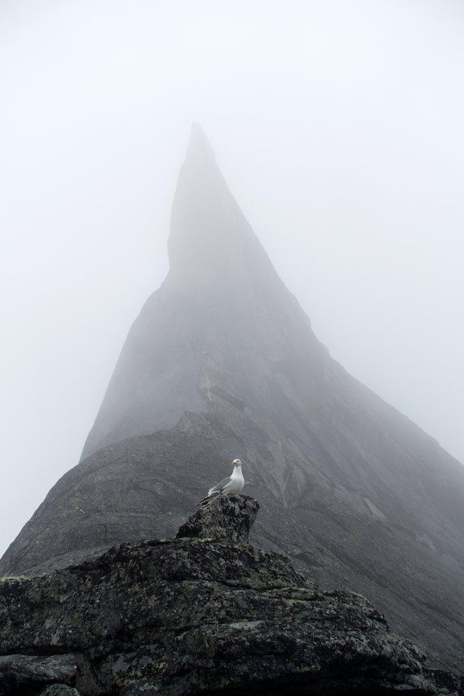 Siberian Gull