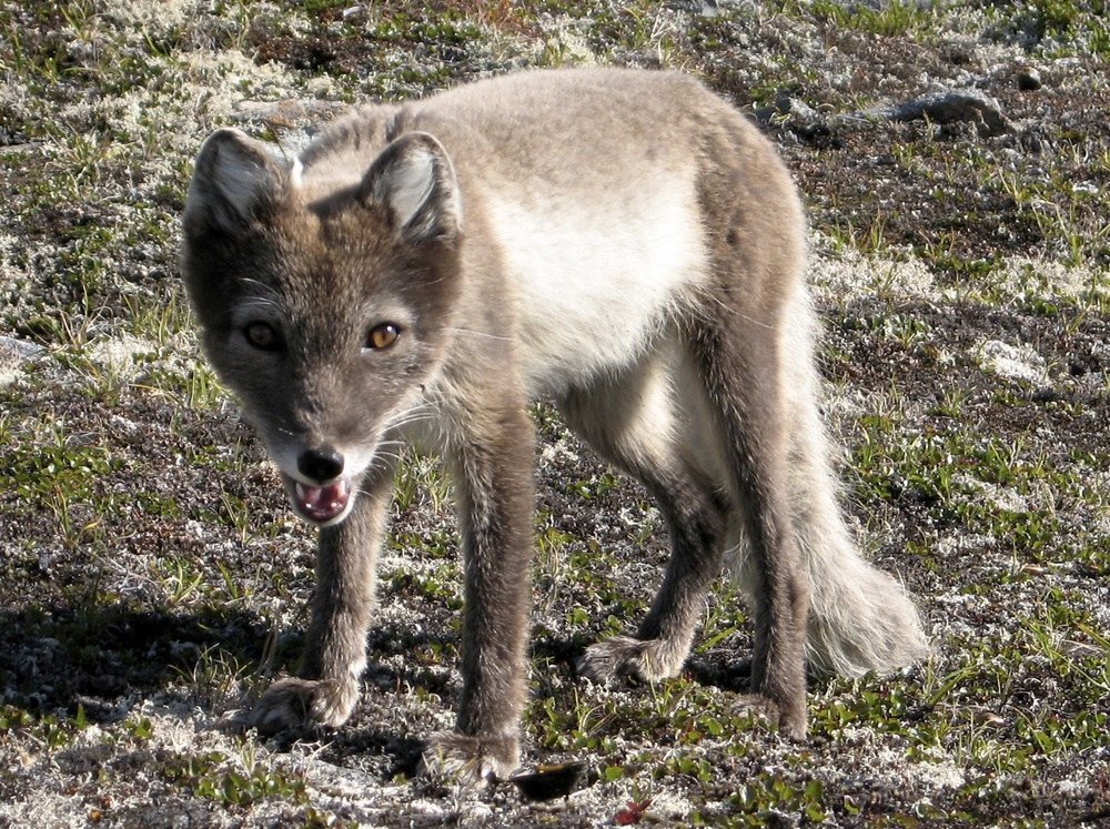 A curious Arctic fox in its summer coat